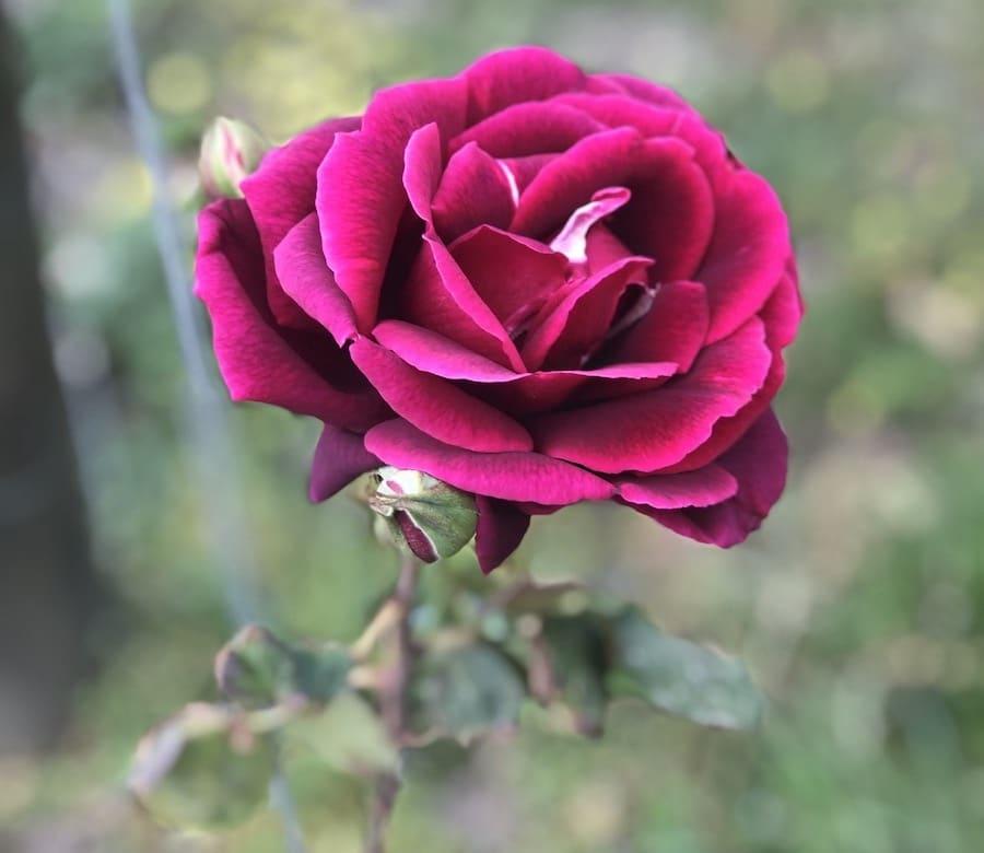 grace - rose
